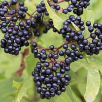 Elderberries-are-Easy-to-Grow